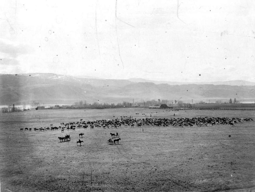 Tranquille Cattle Roundup - 1906